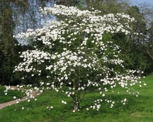 Cornus_florida_flowering_dogwood_aardweg_landscaping