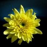 chrysanthemum in container aardweg landscaping pennsylvania 1