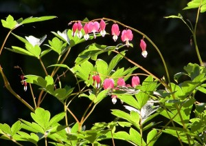 Bleeding_heart_aardweg_landscaping_philadelphia_pa