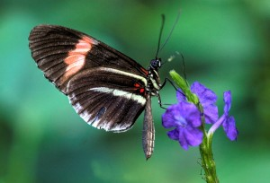 Butterfly_-_Butterfly_Place_in_Westford,_Massachusetts_-_(4)