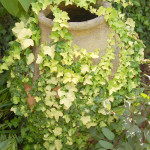 English ivy 'Buttercup'