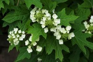 800px-Hydrangea_quercifolia_BhamBotGdn