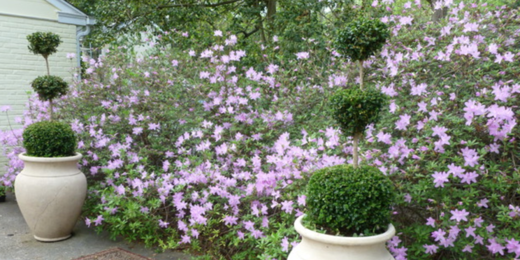 Philadelphia garden with purple flowers and clean bush designs